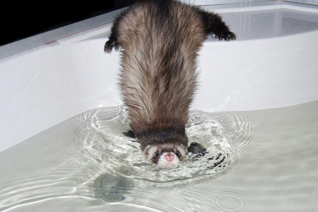 Хорьки очень любят поплавать