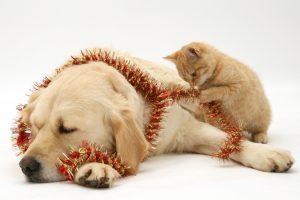 золотистый ретривер, собака,котенок,новый год