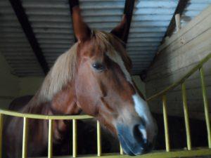 лошадь, иппотерапия, клуб «Буковинская Троя».