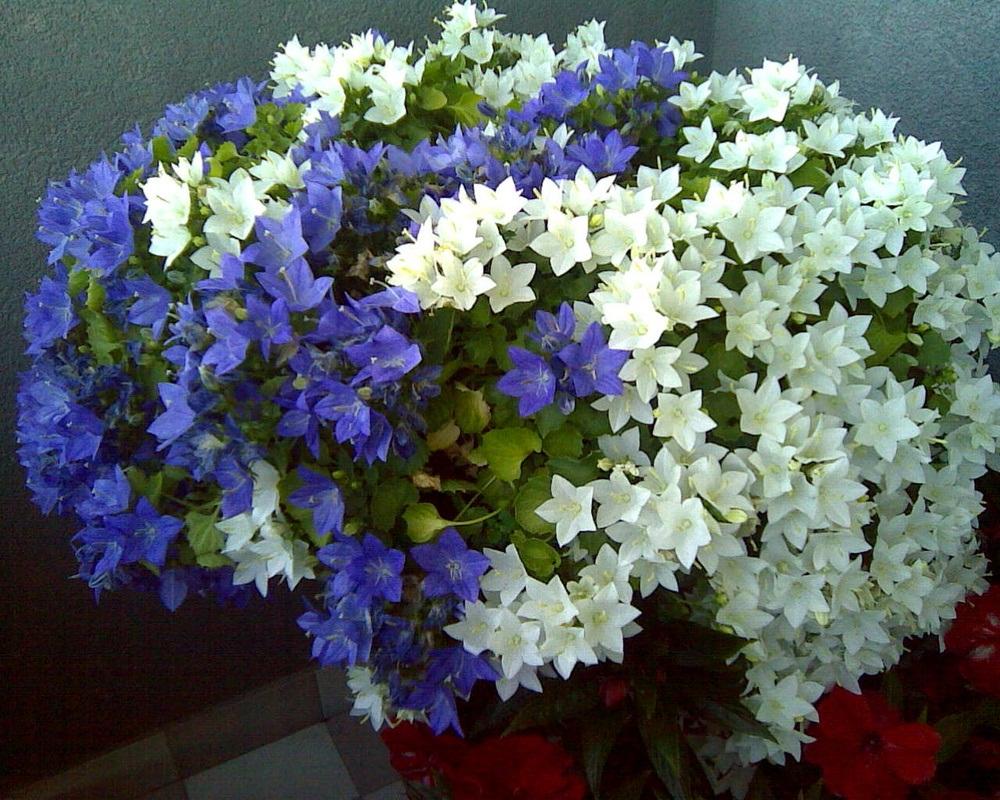 Цветок колокольчик комнатный уход