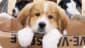 щенок из фильма Жизнь и цель собаки