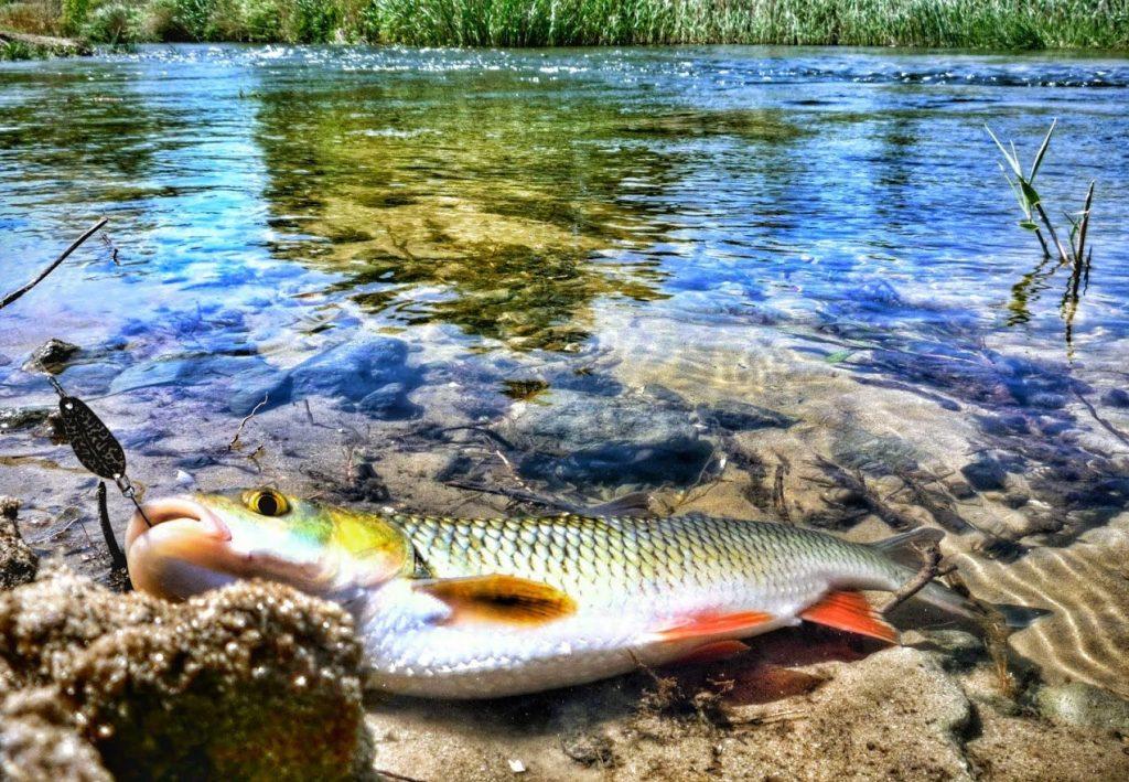 головль, как поймать, рыбалка