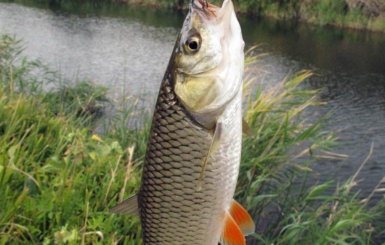 рыбалка, голавль, ловим, наживка