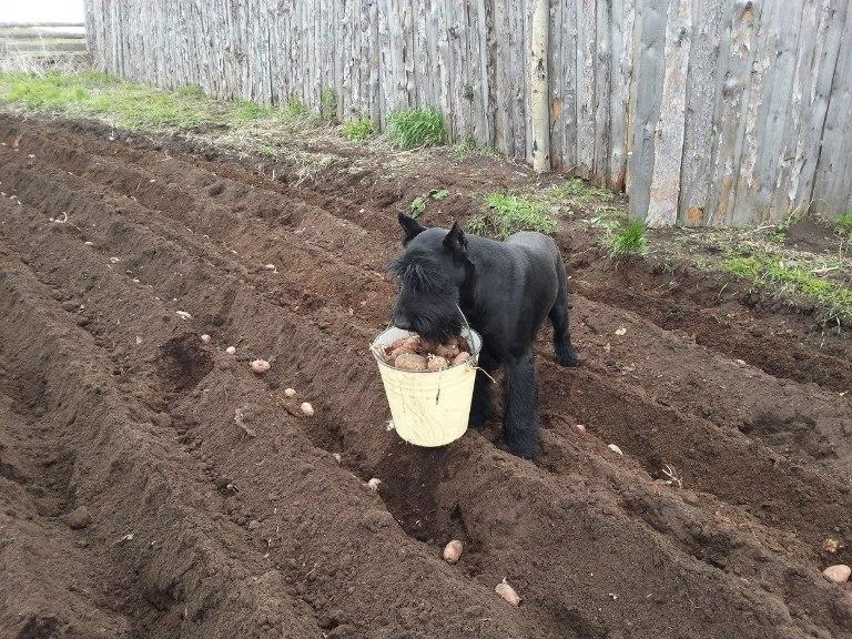собака с картошкой в зубах