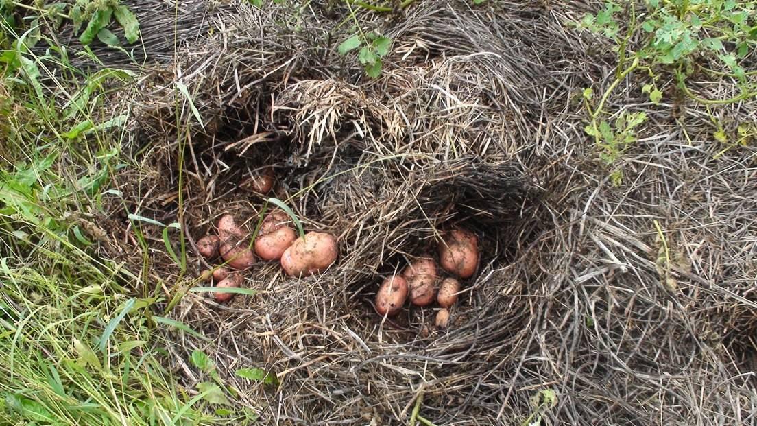 Выращивание картофеля на соломе отзывы 30