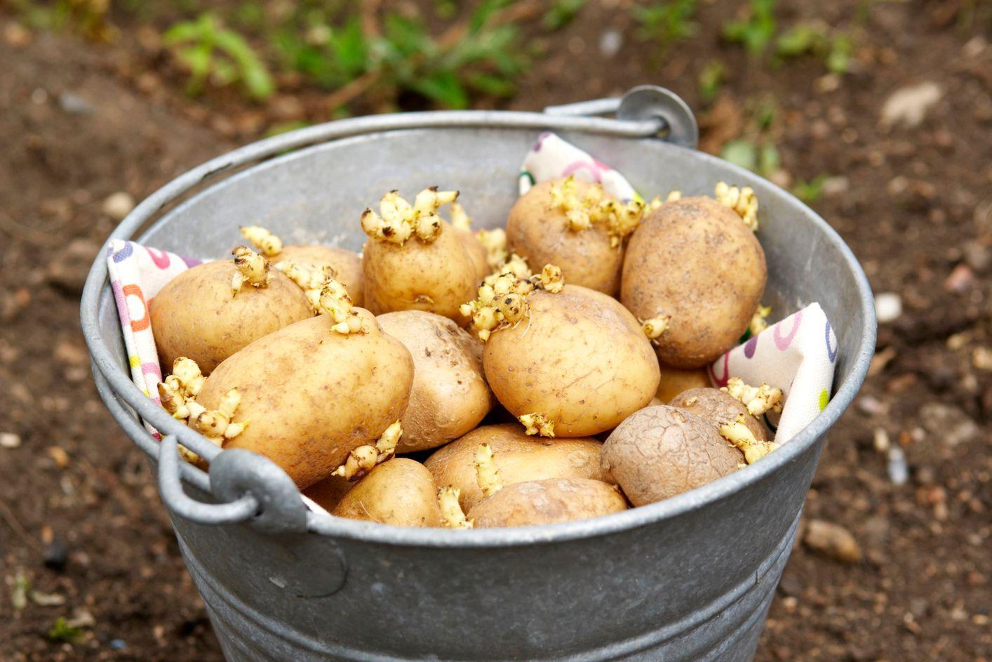 Когда сажают картошку весной 19