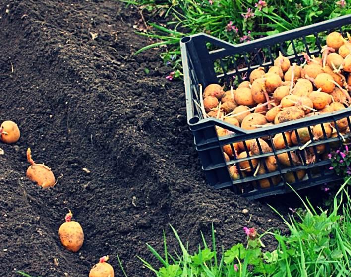 Выращивание картофеля с нуля 75