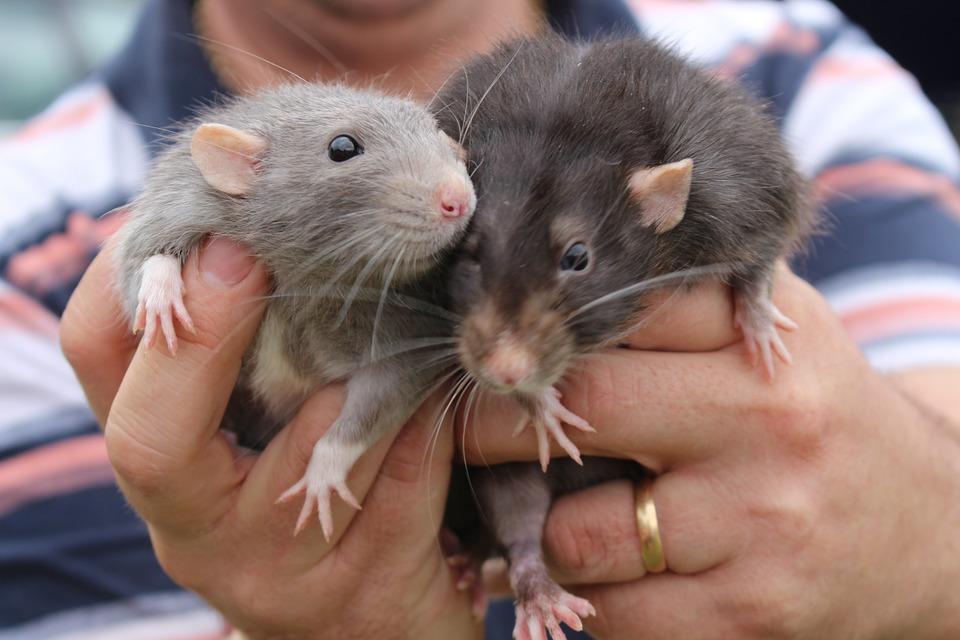 две крысы в руках человека