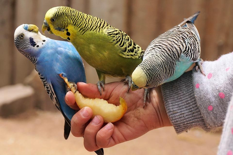 попугаи на руке у хозяина