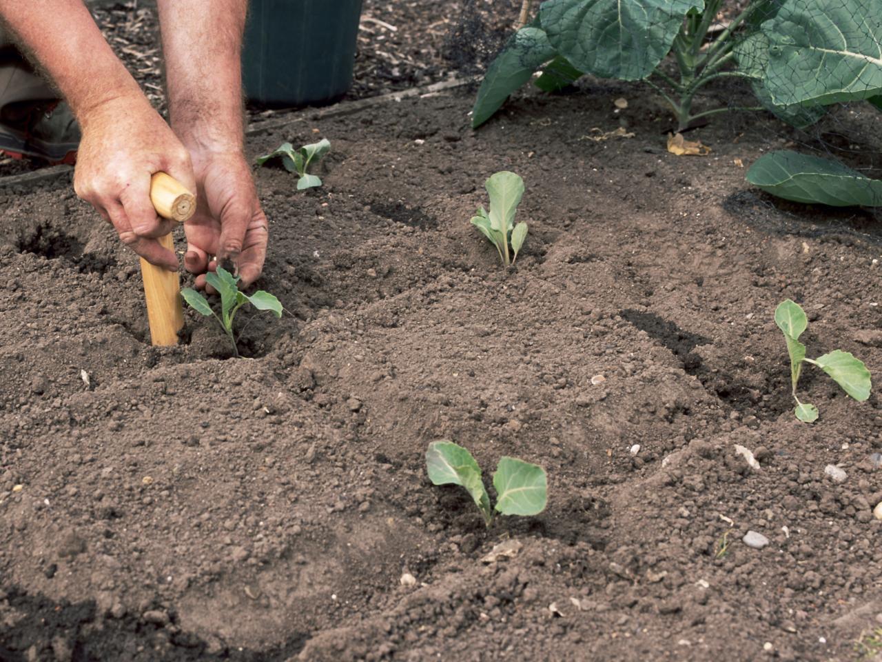 Как правильно сажать капусту в открытый грунт 1