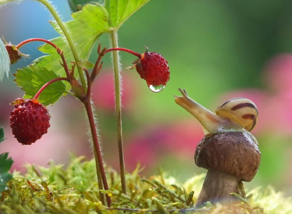 улитка и земляника в саду