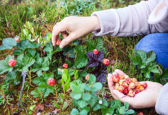 женщина собирает лесную ягоду