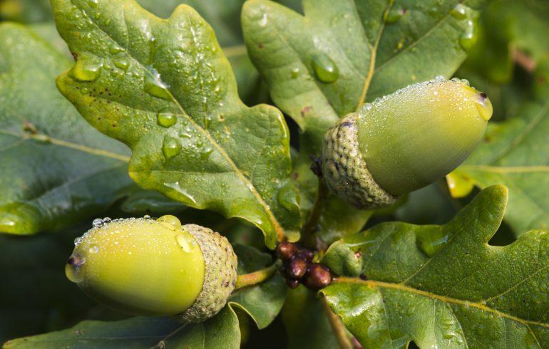 дубовые листья и жолуди