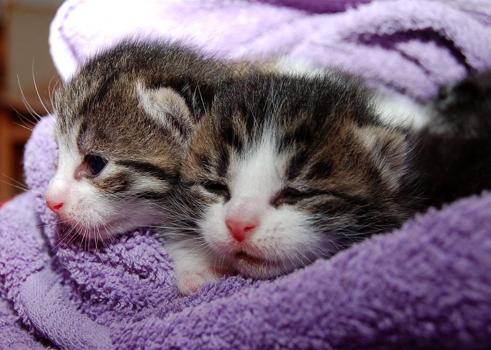 двое милых котят греются под одеялом