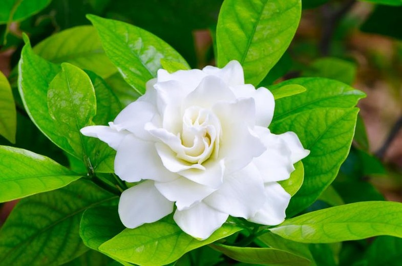 Главный конкурент розы: тайны гардении