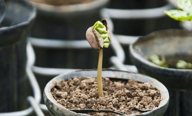 выращиваем кофейное дерево дома