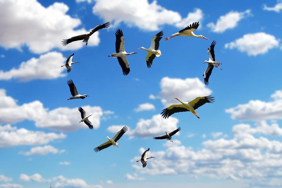 аисты летят в небе