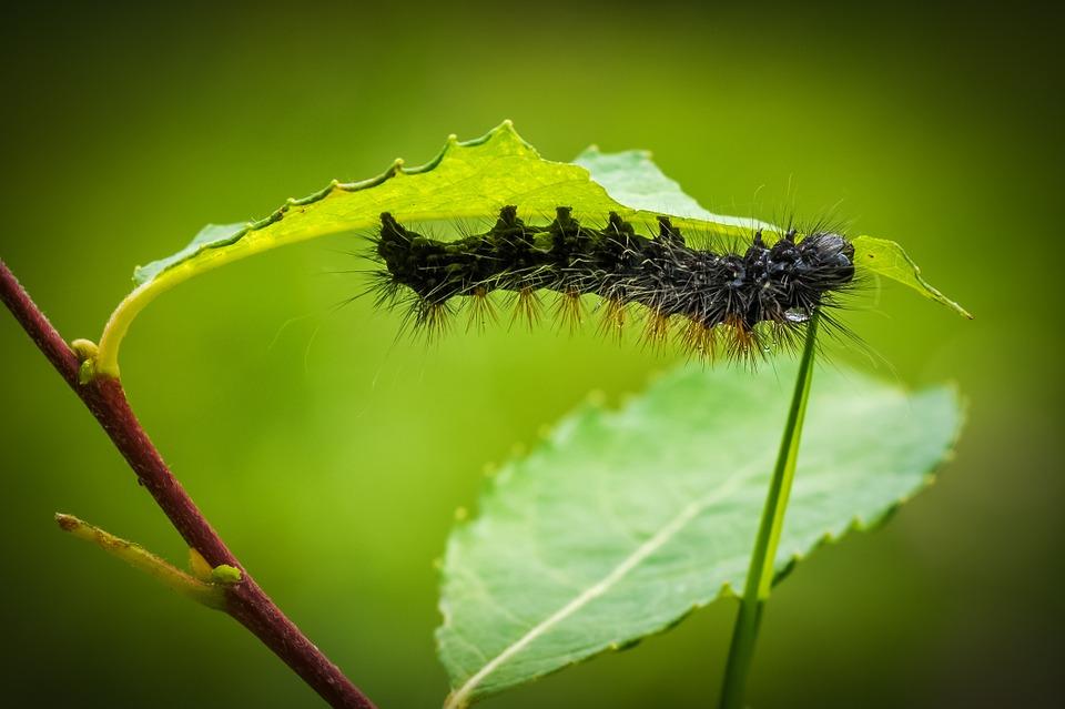 травяные настойки, вредители, гусеницы, тля, табак