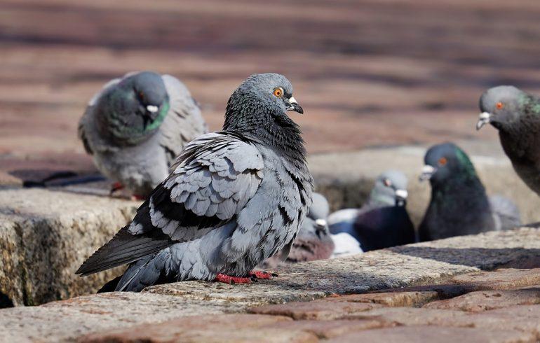 помет, голуби, удобрение