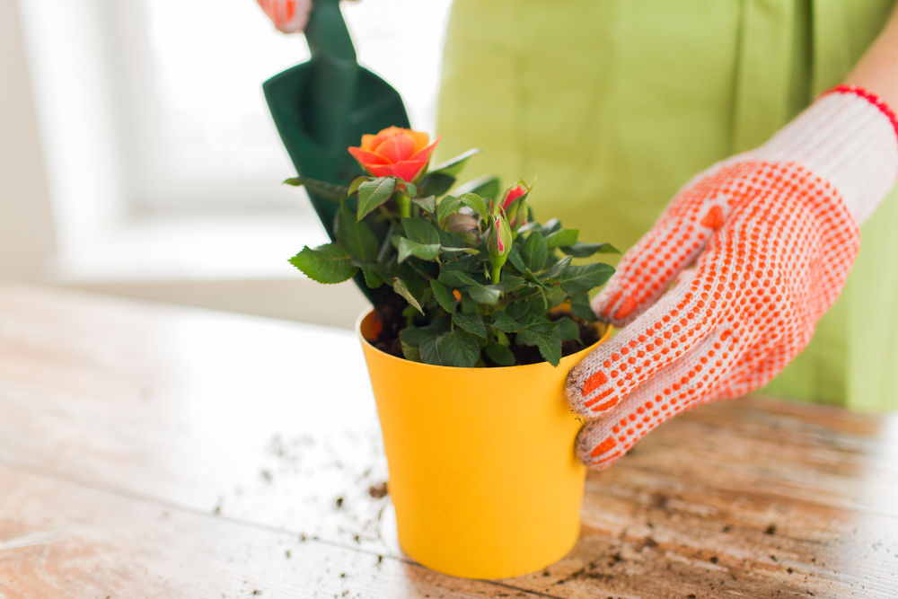 женщина ухаживает за домашней розой