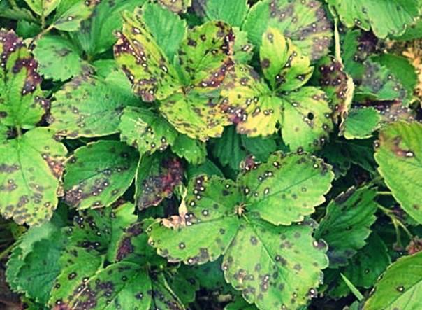 коричневая пятнистость клубники
