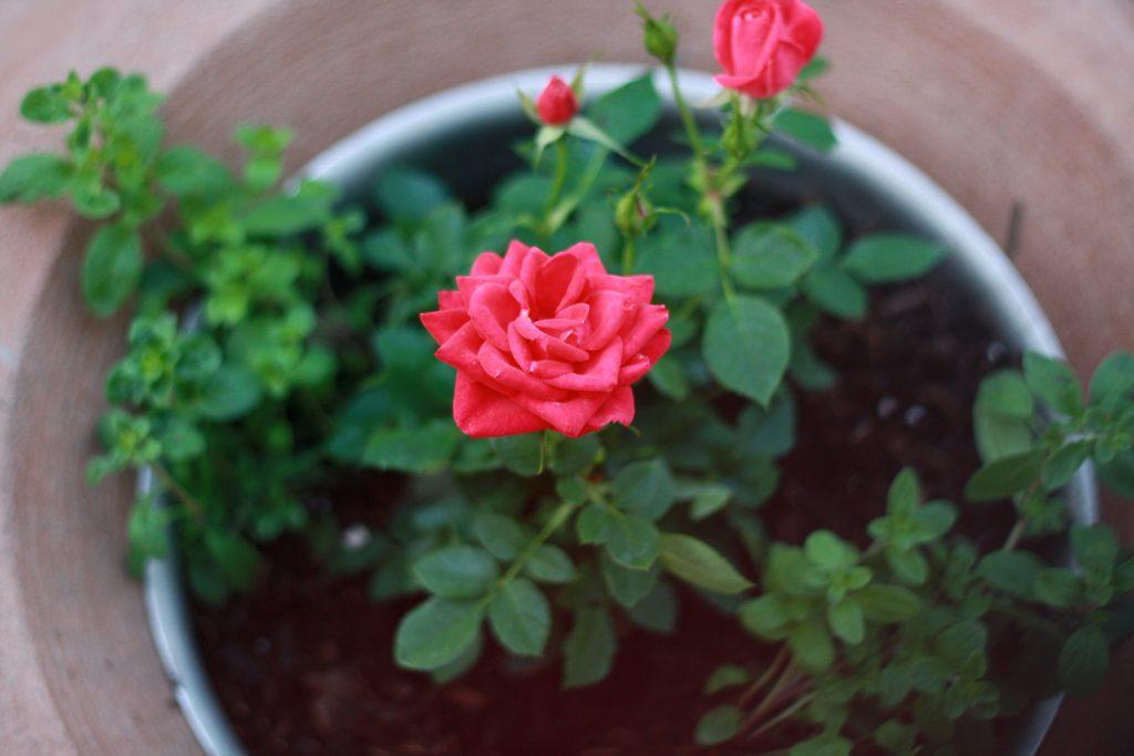 роза выращивание дома