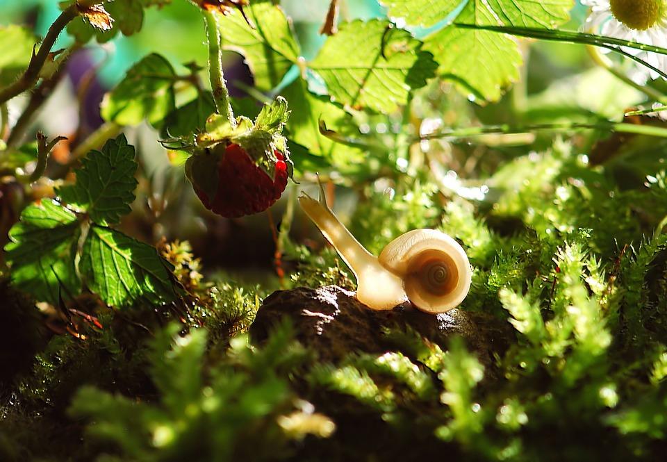 улитка ест клубнику