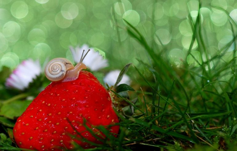 Как защитить клубнику от вредителей