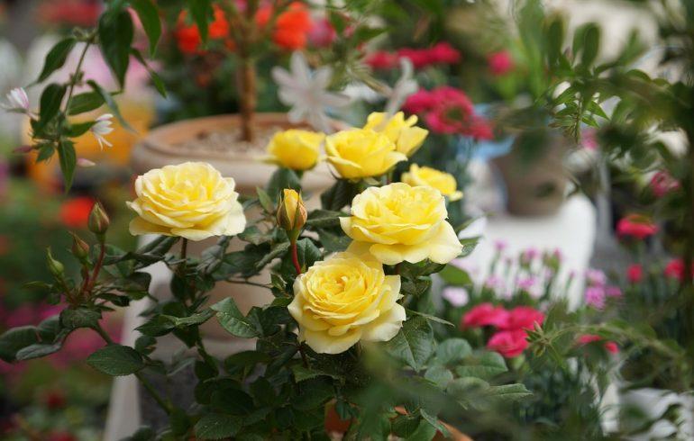 Королева в горшке: выращиваем розу дома