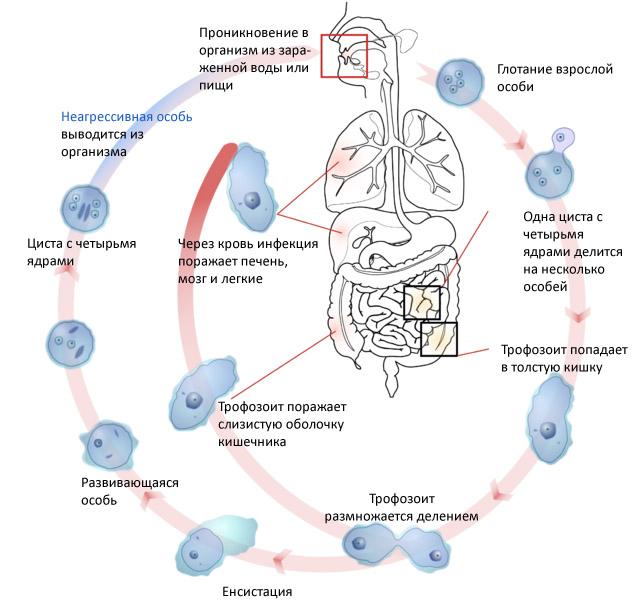 амеба Неглерия Фоулера цикл развития и попадания в организм человека