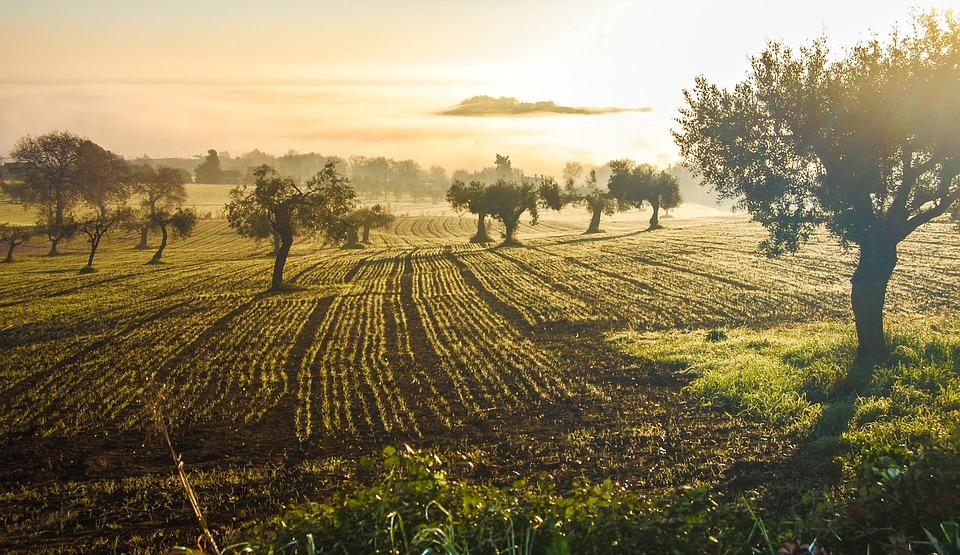 оливковая роща на Крите