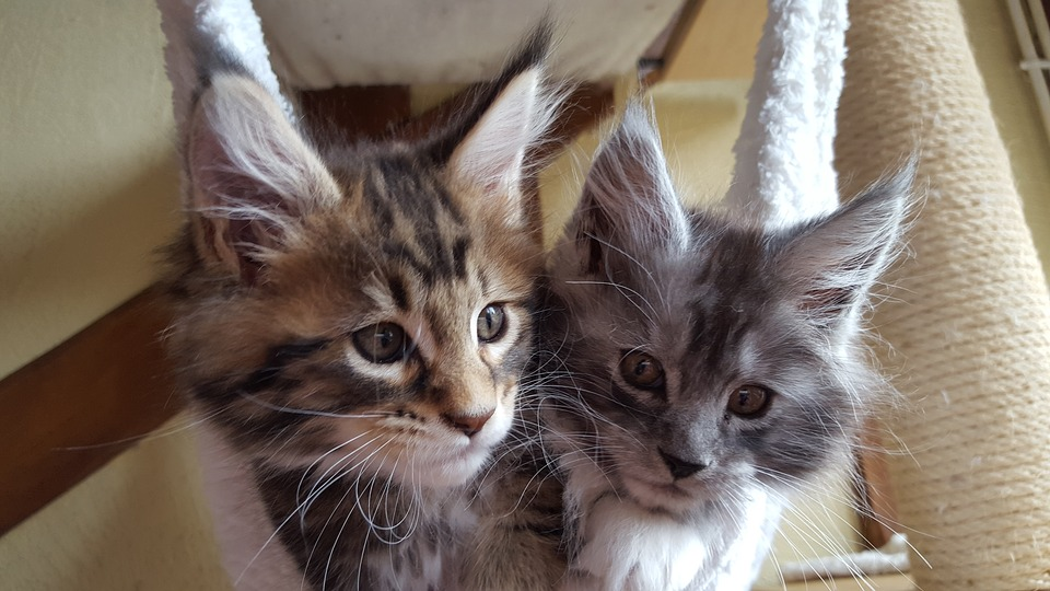 два котенка породы мейн-кун