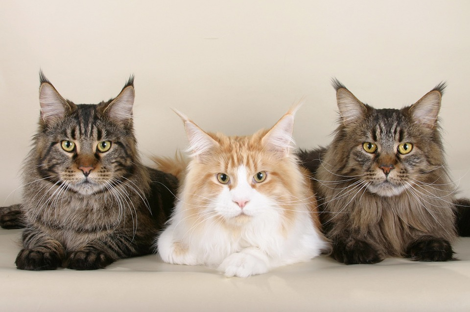 три кота породы мейн-кун