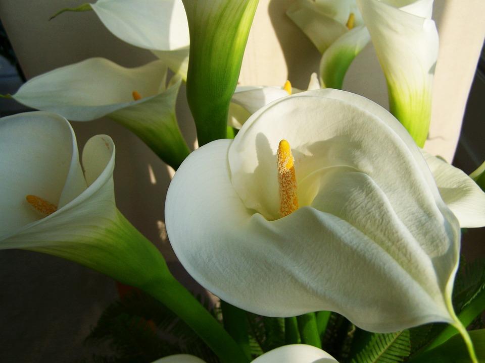 белые каллы можно вырастить дома