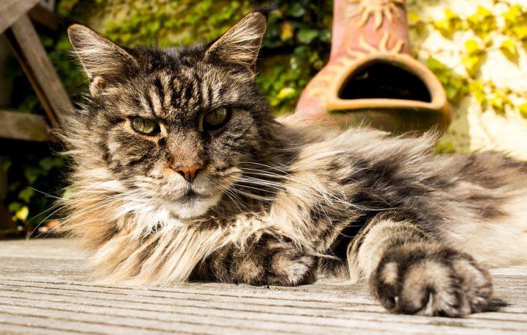 кот породы мейн-кун