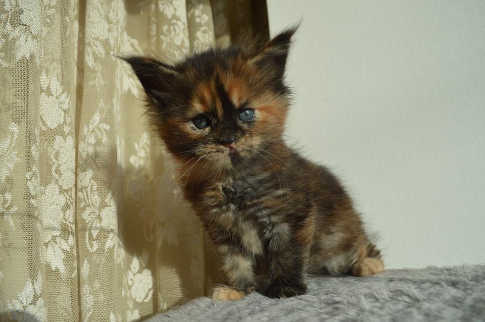 милый котенок породы мейн-кун