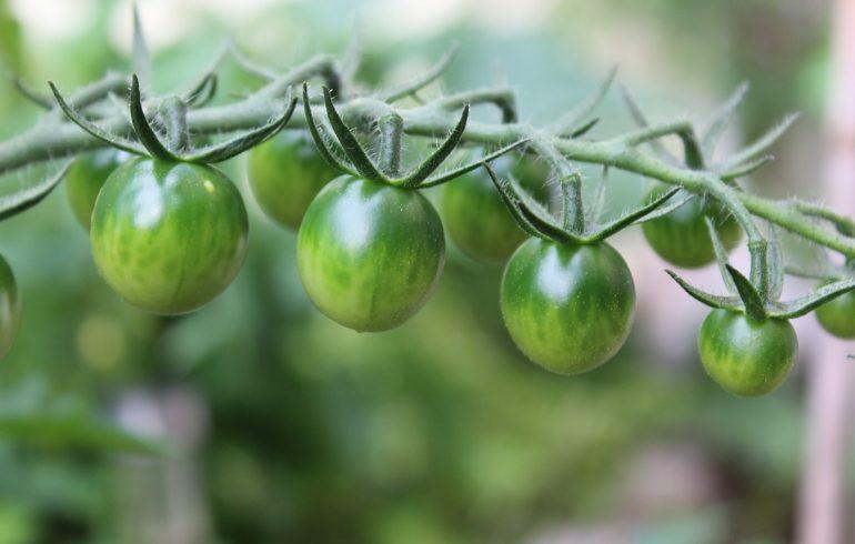 Зеленые помидоры против варикоза