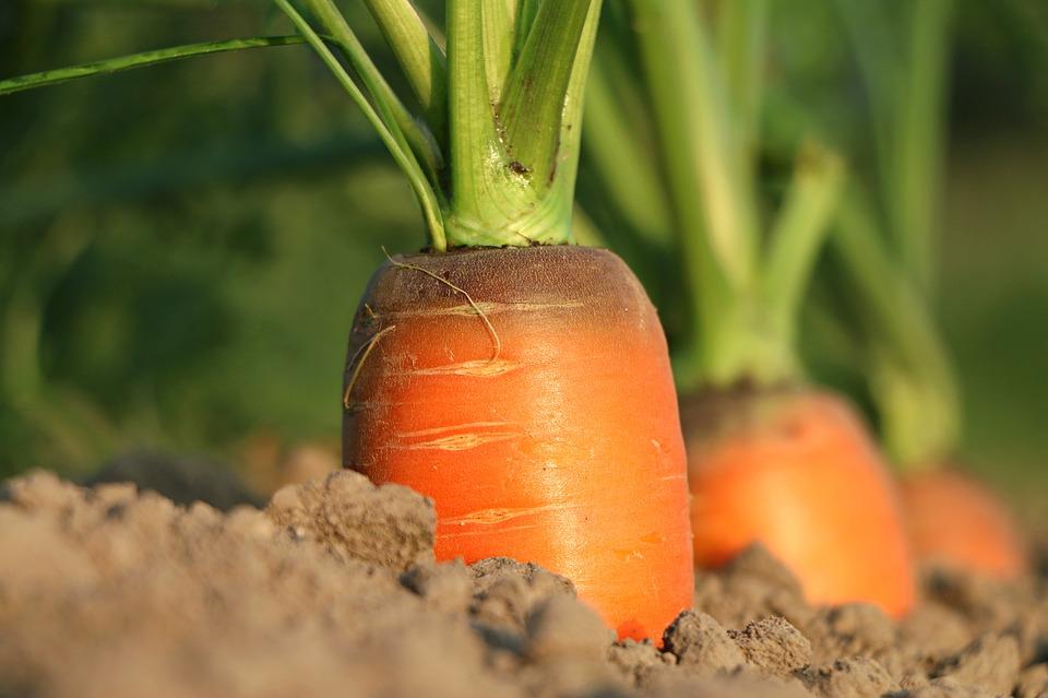 когда убирать морковь и другие корнеплоды