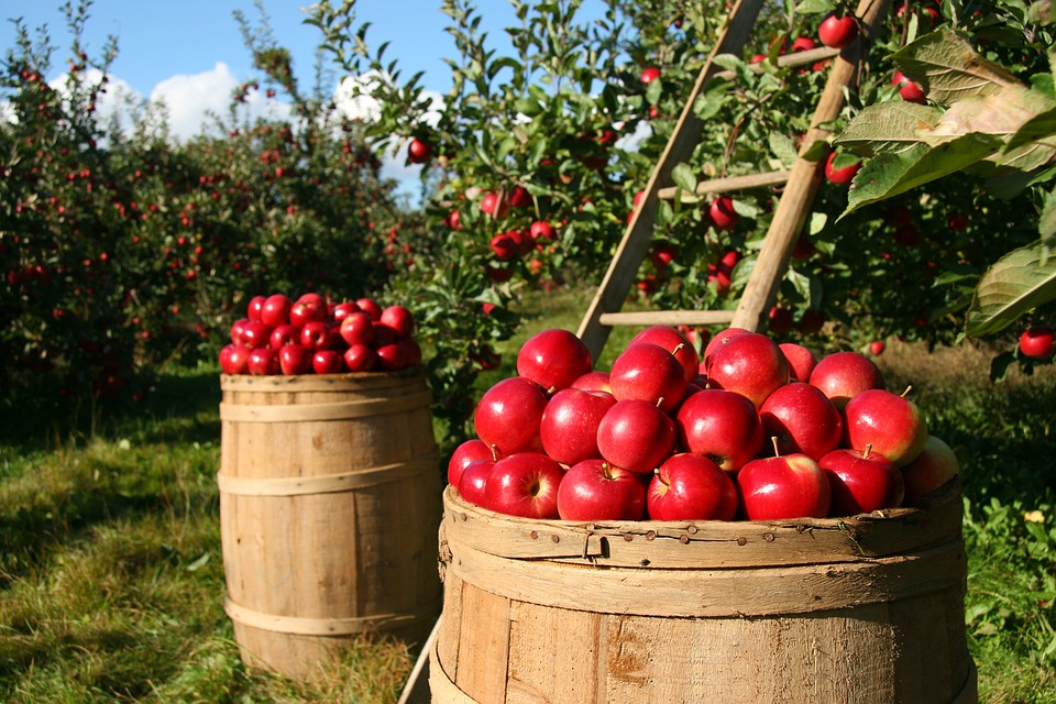 яблоки поспели в августе