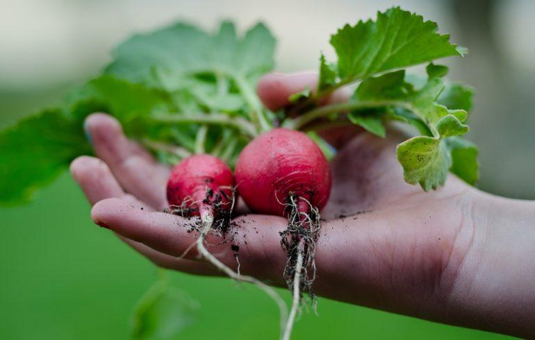 Как вырастить редис к октябрю