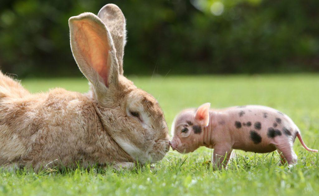 мини-пиг дружит с кроликом