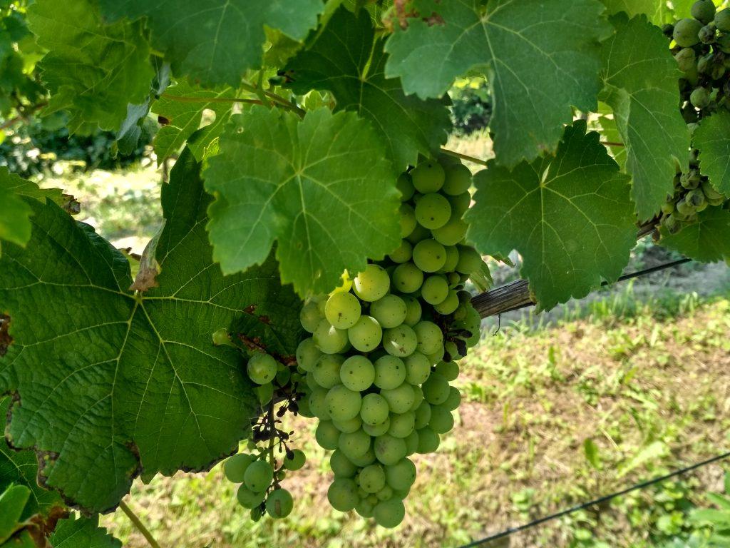 урожай винограда в Пачкове