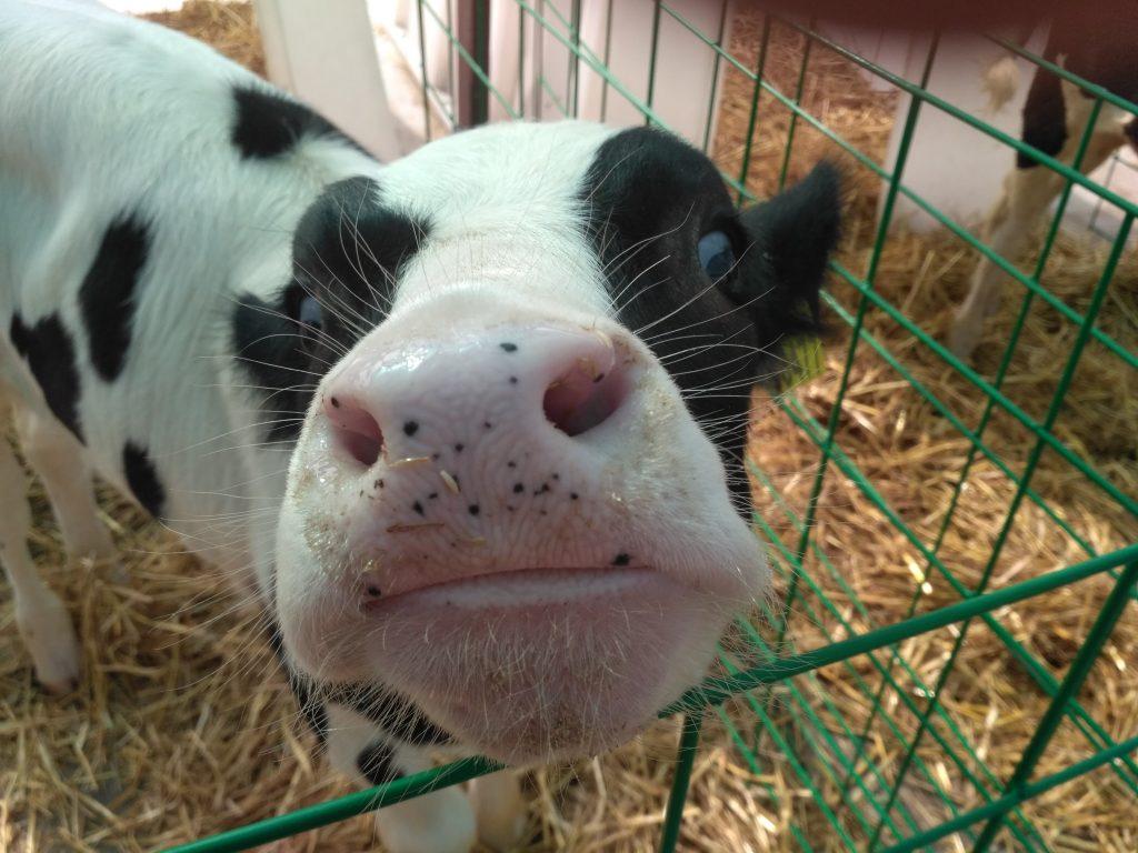 милая корова на сыроварне