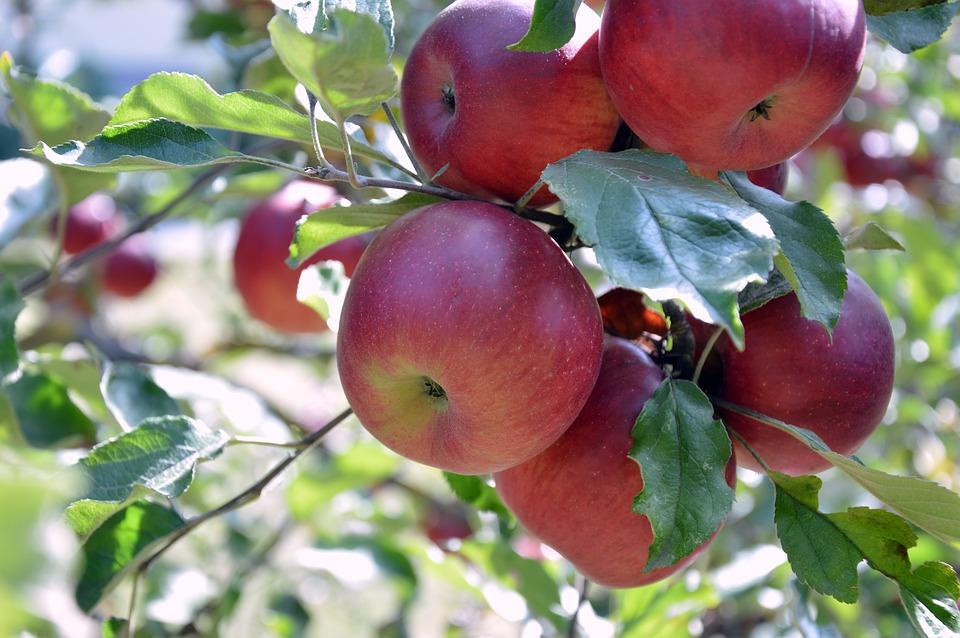 яблоня и созревшие яблоки