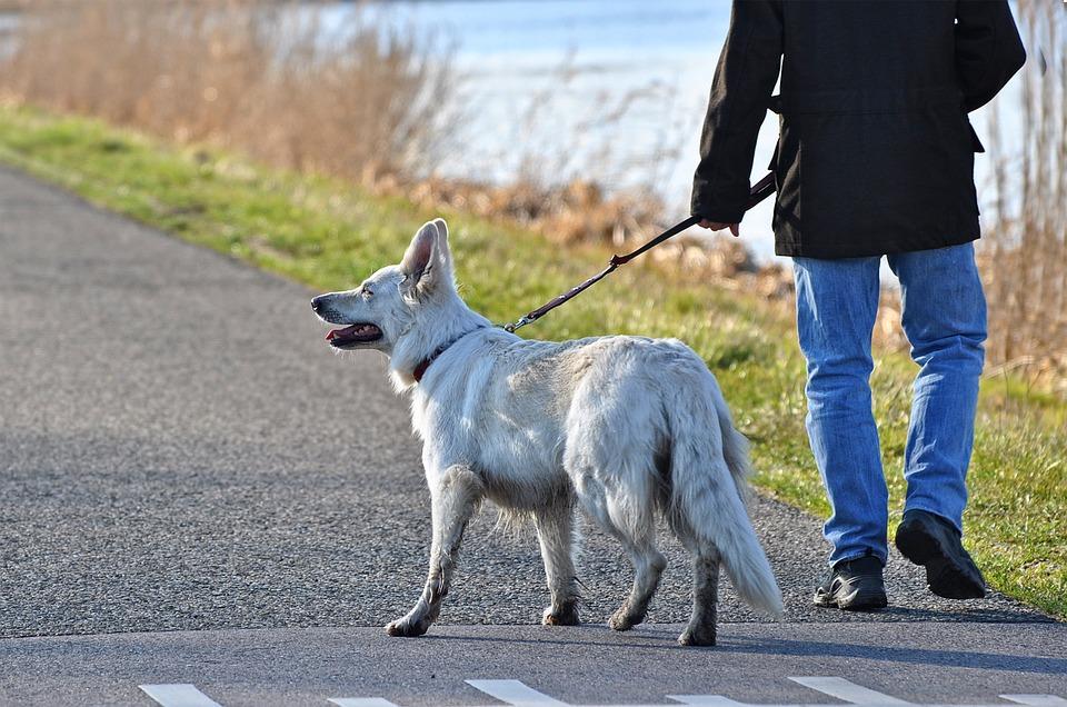 белая собака гуляет