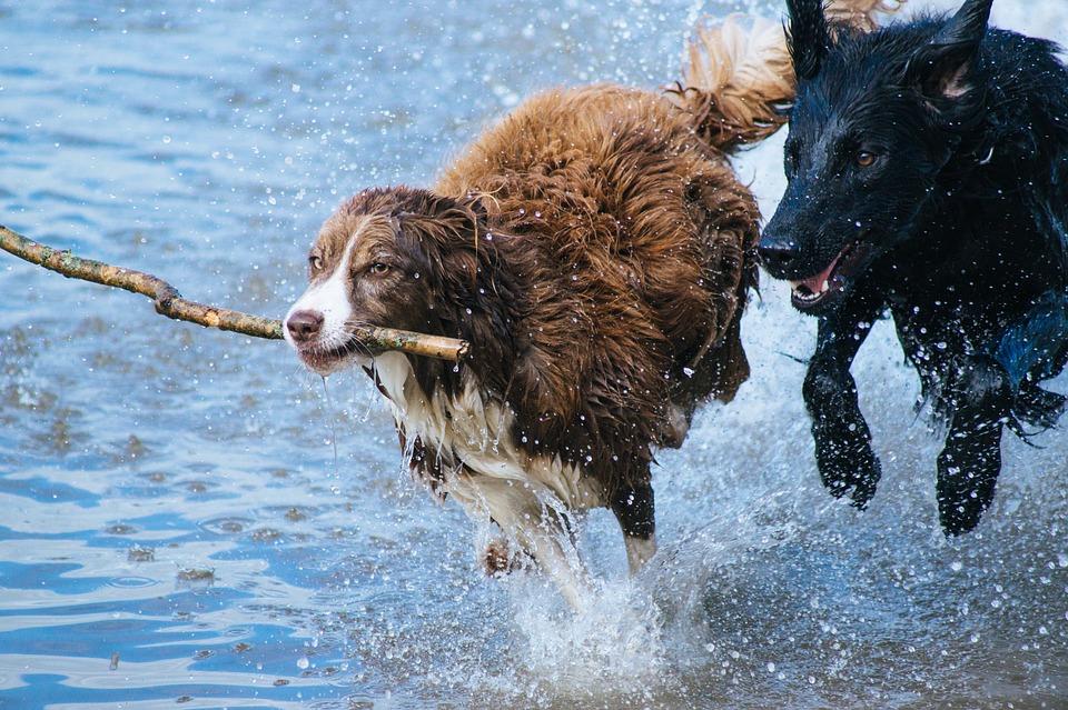 собаки Овны очень энергичны