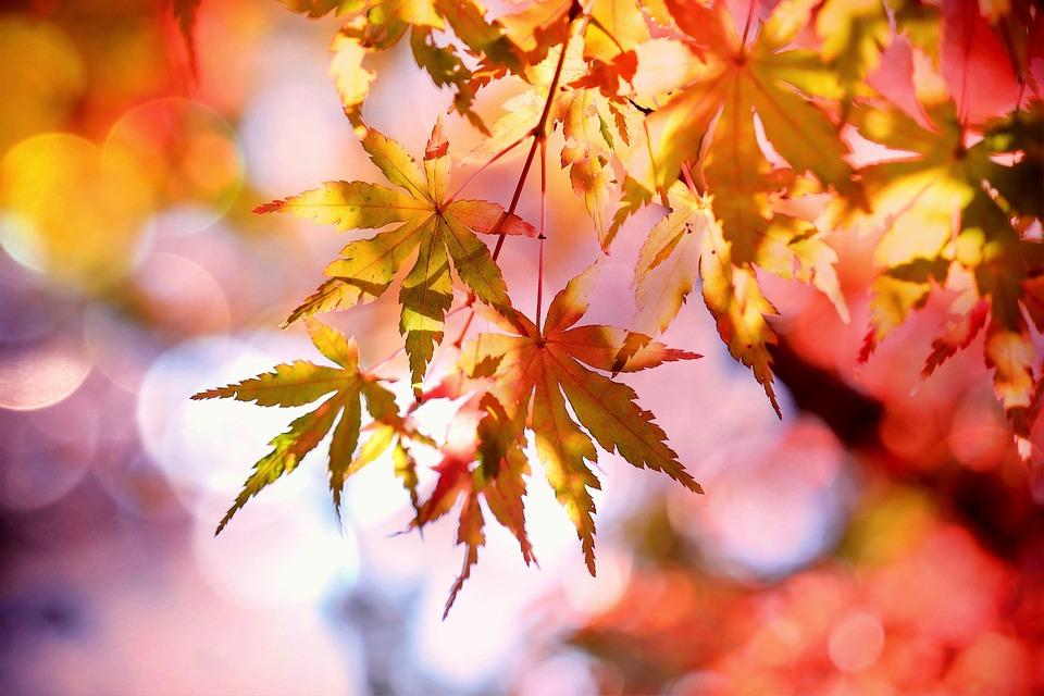 желтые листья клена осенью