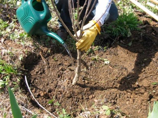 осенняя посадка фруктовых деревьев и уход