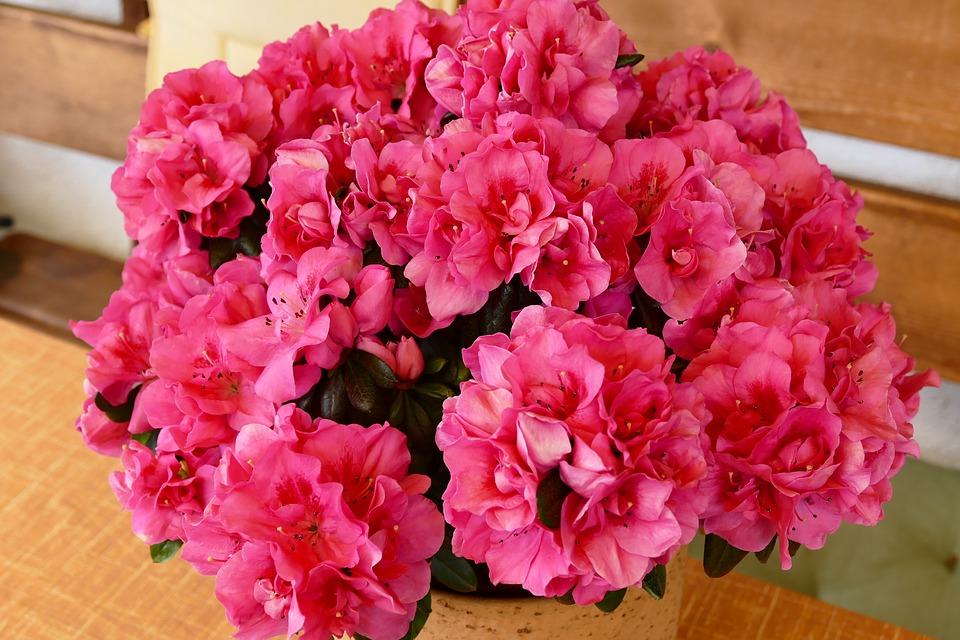 азалия в комнате цветет зимой