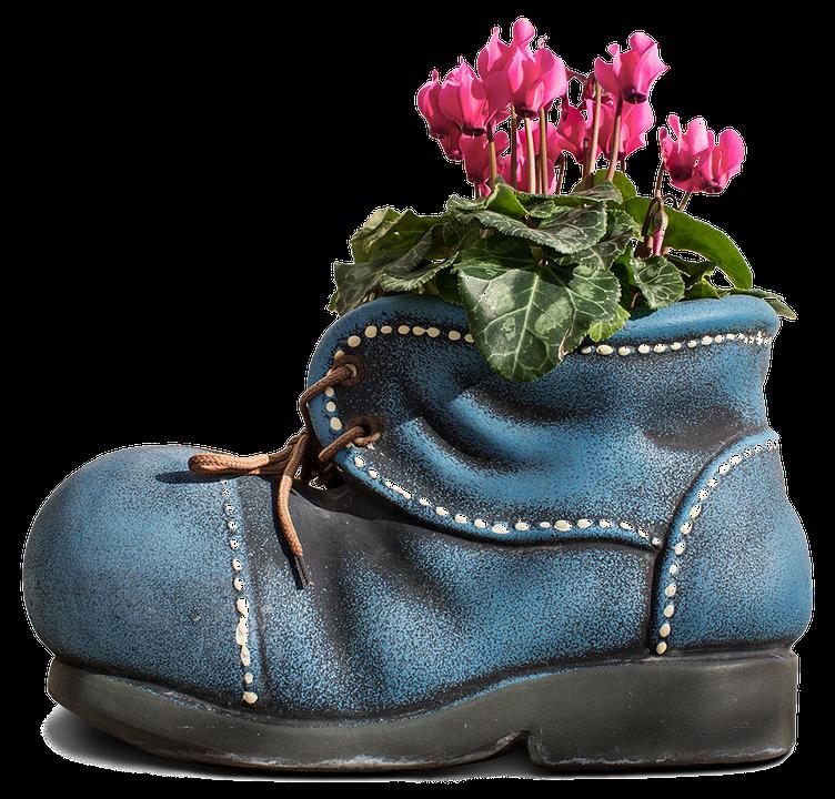 цикламен в ботинке цветет